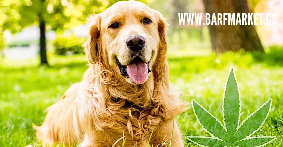Η ευεργετική δράση του ελαίου CBD στον σκύλο σας!